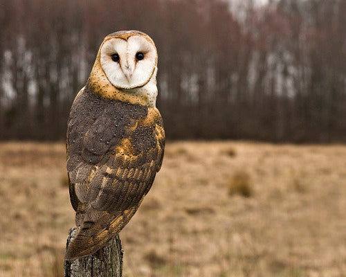 beautiful barn owl on field post
