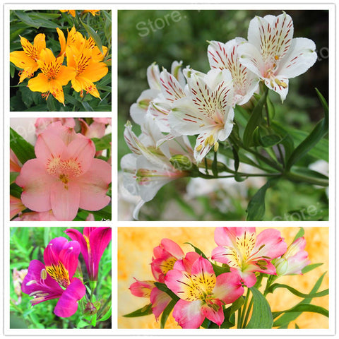 100pcs/bag mix colors Lily seeds Peruvian Lily flower seeds Alstroemeria seeds bonsai plant beautiful flower for home garden