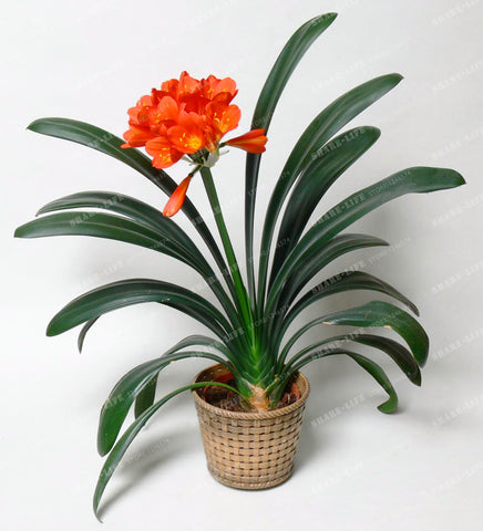 100 Pcs Gorgeous Flower Seeds (Kaffir Lily ) Semenatsvety Room Flowers Beautiful Rare Real Clivia Miniata orchids home garden