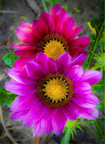 100 pcs/bag gazania flower bonsai flower seeds Garden Balcony plant Semillas Gazania Splendens Chrysanthemum for home garden