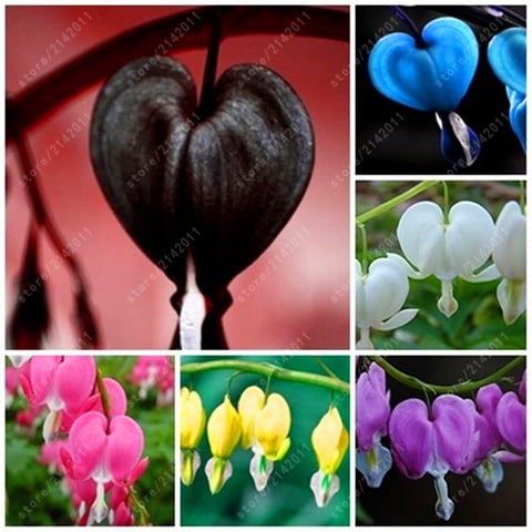 100 pcs/bag Dicentra Spectabilis seeds Bleeding Heart classic cottage garden plant, heart-shaped flowers in spring,rare orchid