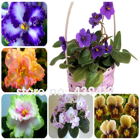 100 PCS 24 Colors Violet Seeds, african violet seeds, Garden potted Plants Violet Flowers Perennial Herb Matthiola Incana Seed