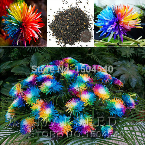 Free Shipping 20 Rainbow Chrysanthemum Flower Seeds rare color  new arrival DIY Home Garden flower plant