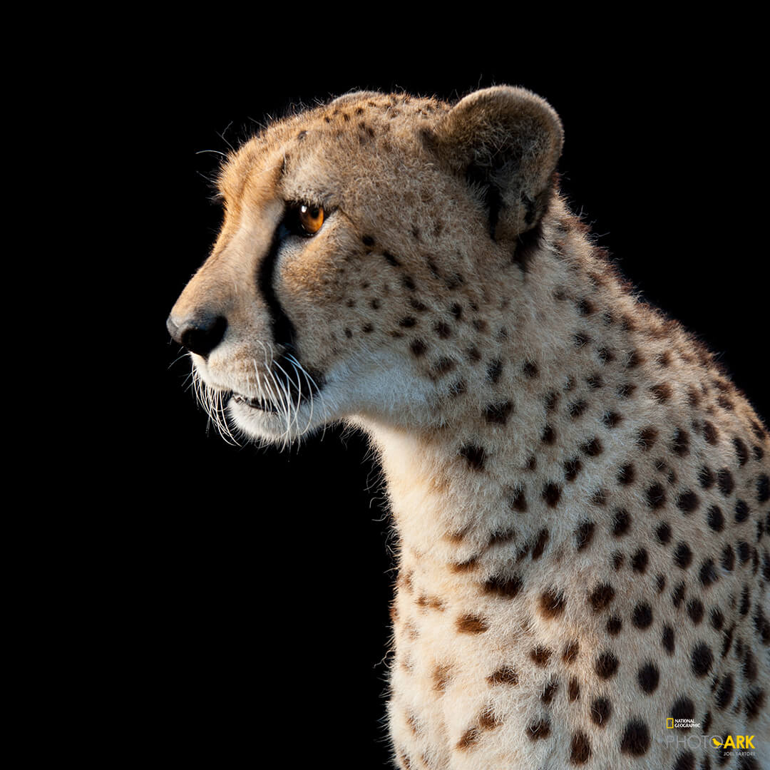 Picture of a cheetah with National Geographic logo in the bottom right.