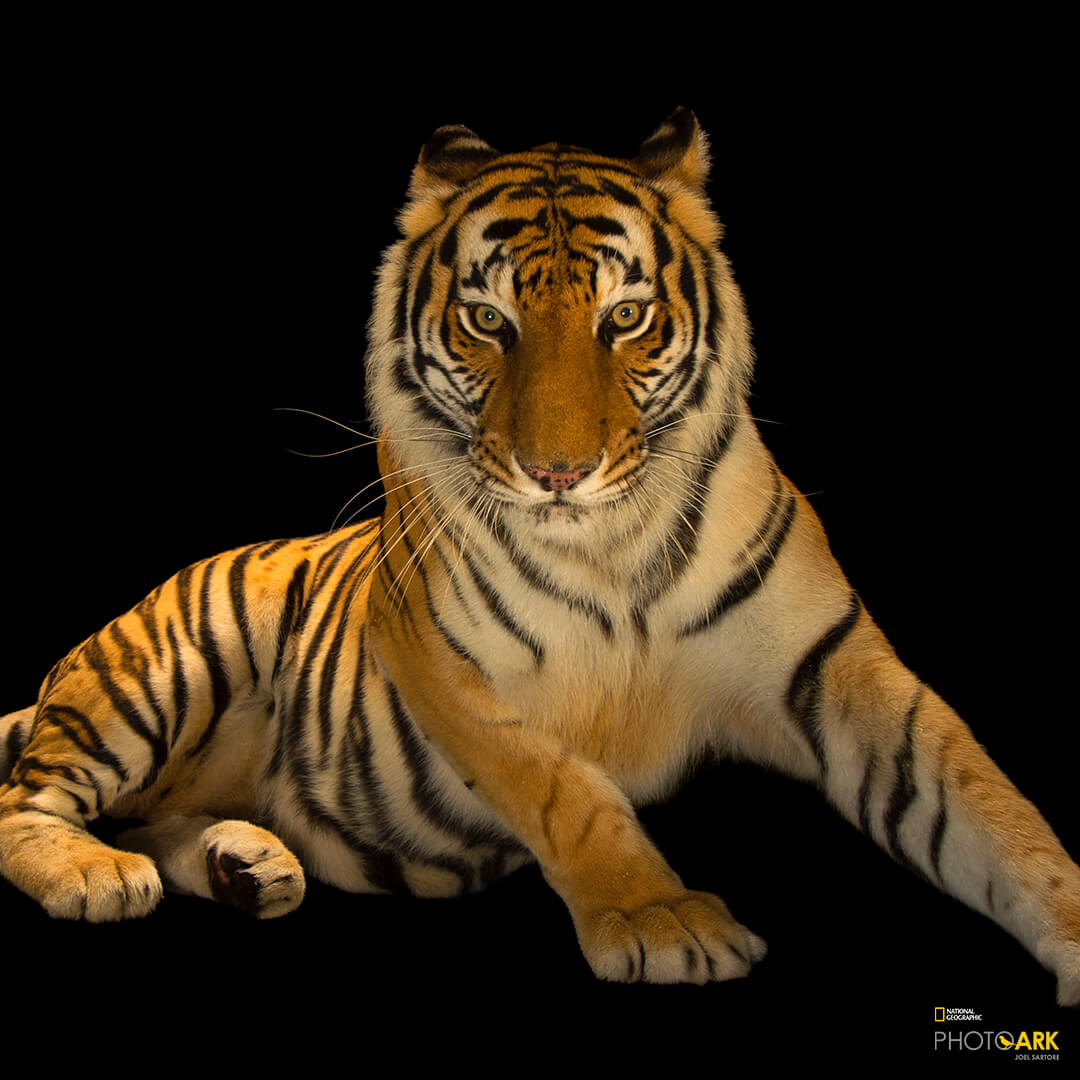Picture of a tiger with National Geographic logo in the bottom right.