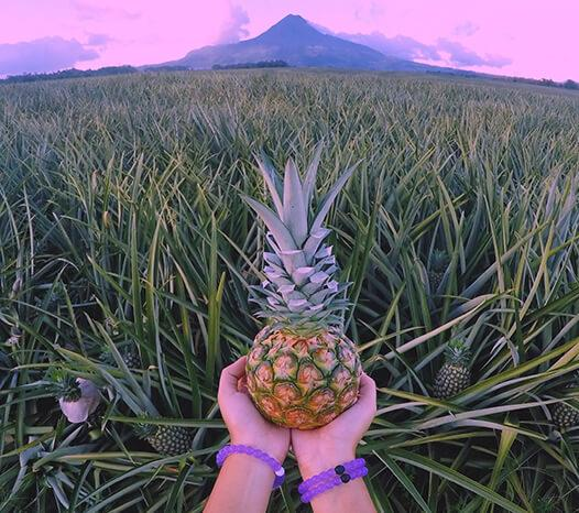 Hands holding a mini pineapple with purple silicone beaded bracelets on wrist and pineapple field in the background.