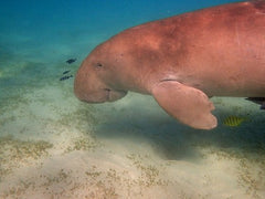 Florida's Biscayne National Park Manatee - Urban Canairie