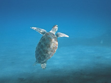 Florida Turtle at Dry Tortugas National Park - Urban Canairie