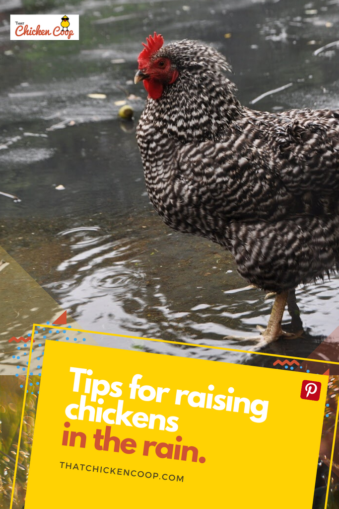 Raising Chickens in the Rain
