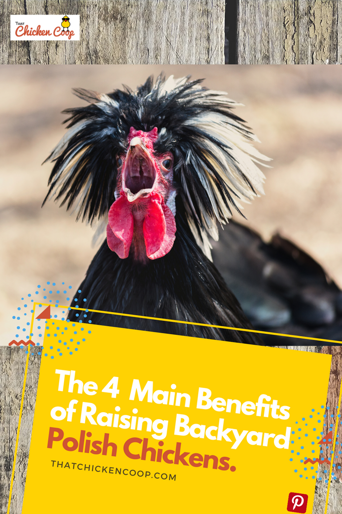 Four Reasons to Keep Polish Chickens