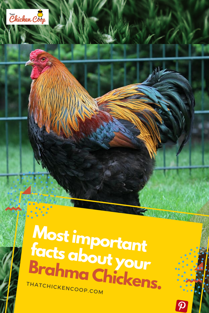 Everything You Need to Know About the Brahma Chicken