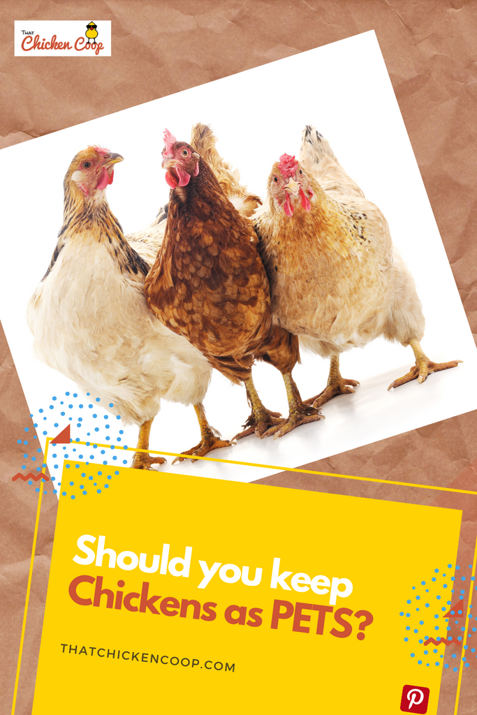 Should you keep backyard chickens as pets?