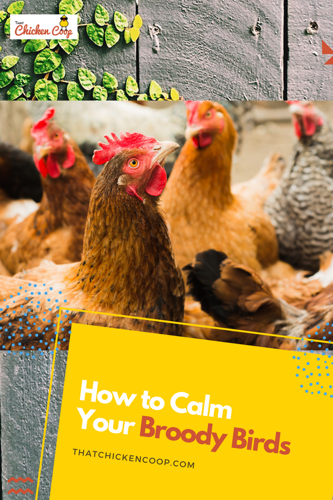 How to Calm Broody Birds