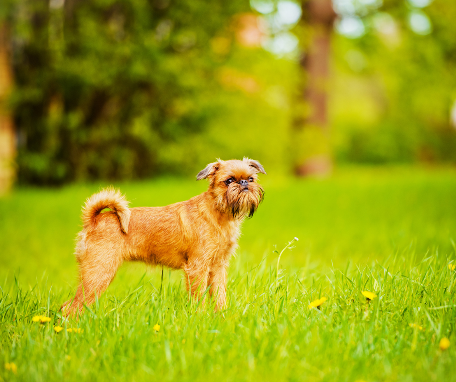 hypoallergenic dog breeds that dont shed