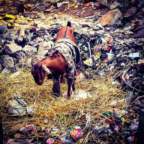 Wall Art Decor Photography Goat With Clothes In Garbage Jaipur