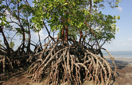Mangrove Action Project: Reversing the degradation of mangroves
