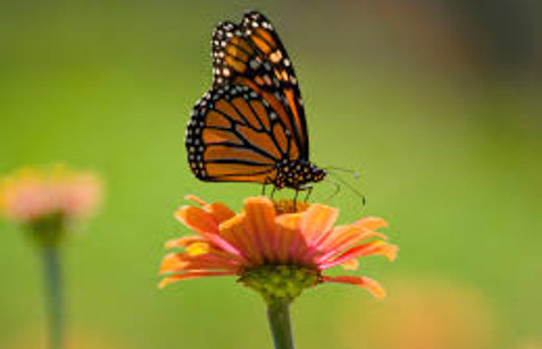 Save Our Monarchs: A campaign to save the beloved monarch butterfly