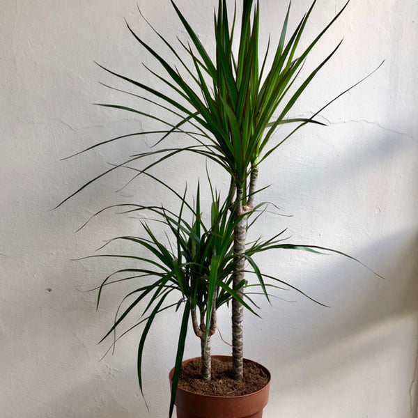 Dracaena - Dragon Palm