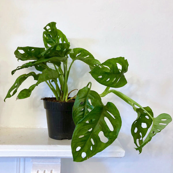 Monkey Mask Monstera