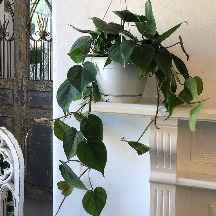 Sweetheart House Plant Hanging