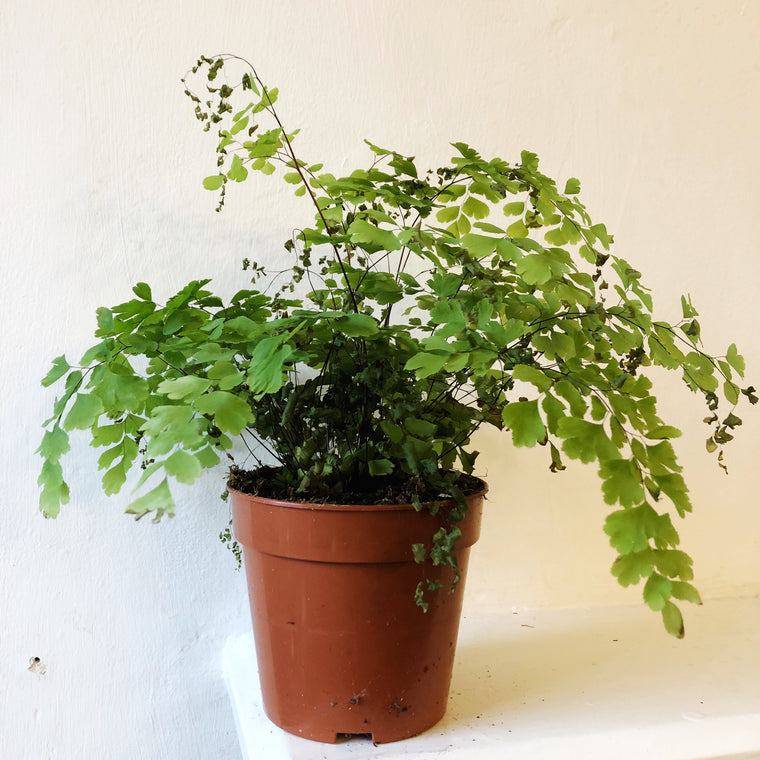 Maidenhair Fern House Plant
