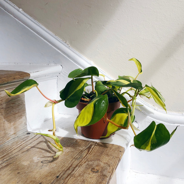 Philodendron Sweetheart Brasil House Plant