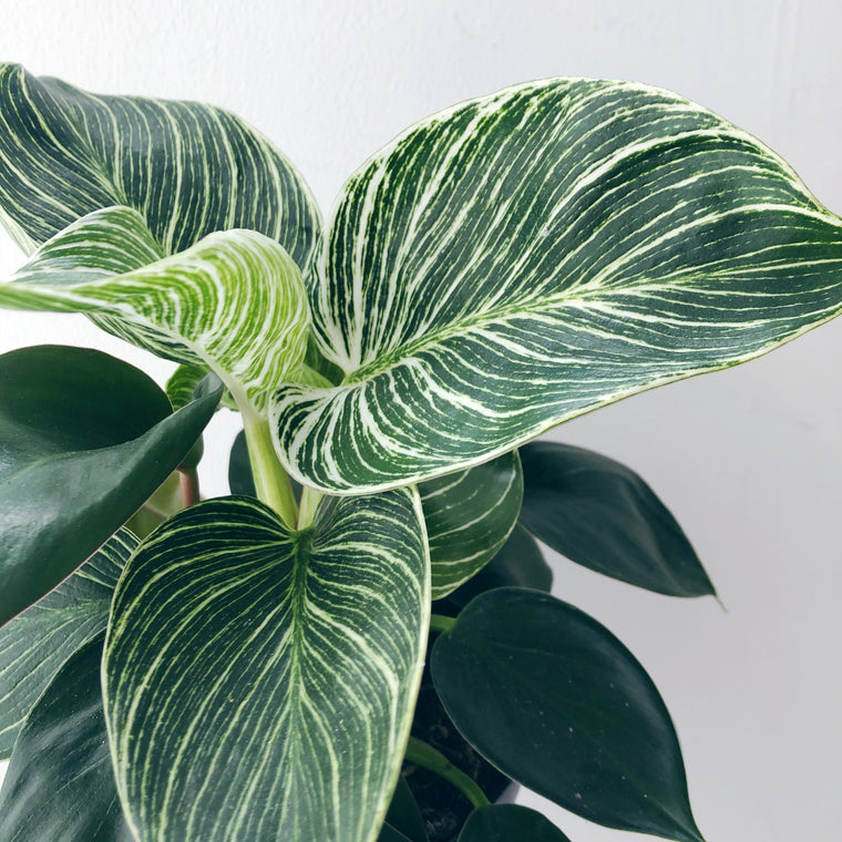 Philodendron White wave House Plant