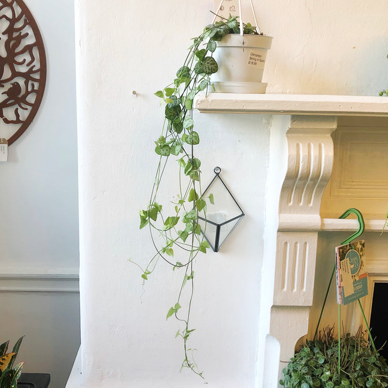 String of Spades House Plant - Hanging
