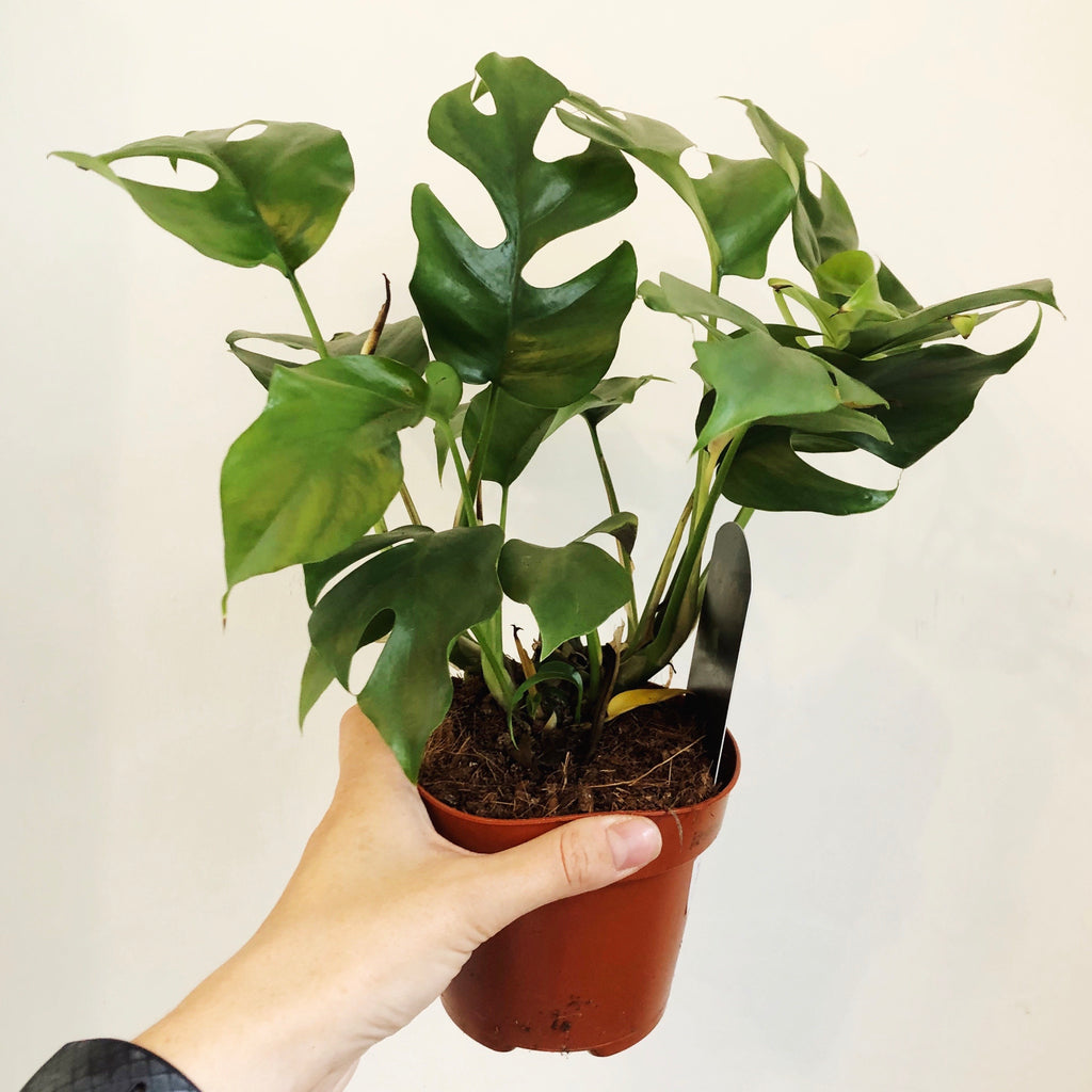 Monstera Minima House Plant