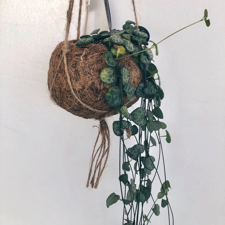 Plastic-Free Hanging String of Hearts House Plants