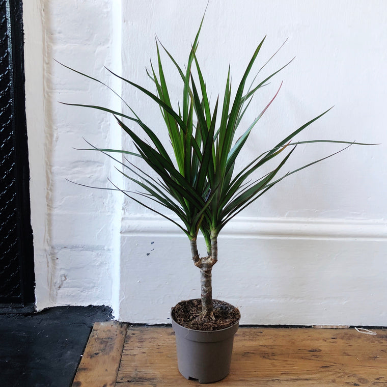 Dragon Tree House Plant - Small