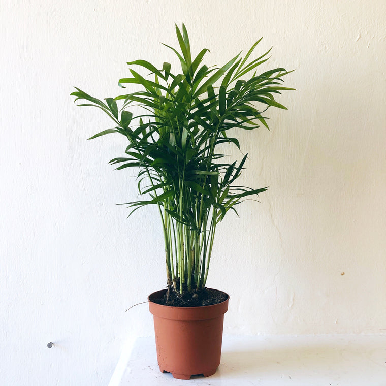 Parlour Palm House Plant Small