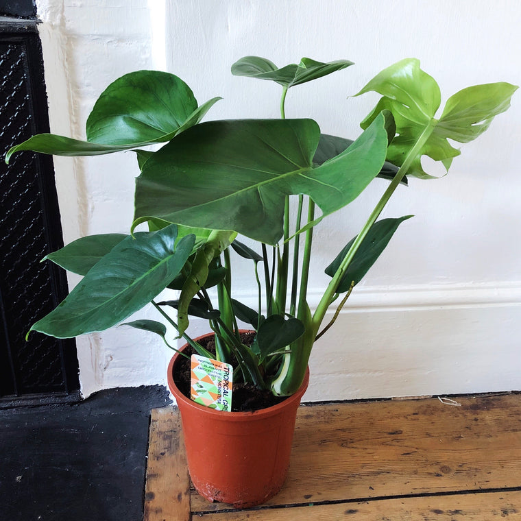 Monstera Deliciosa House Plant - XL