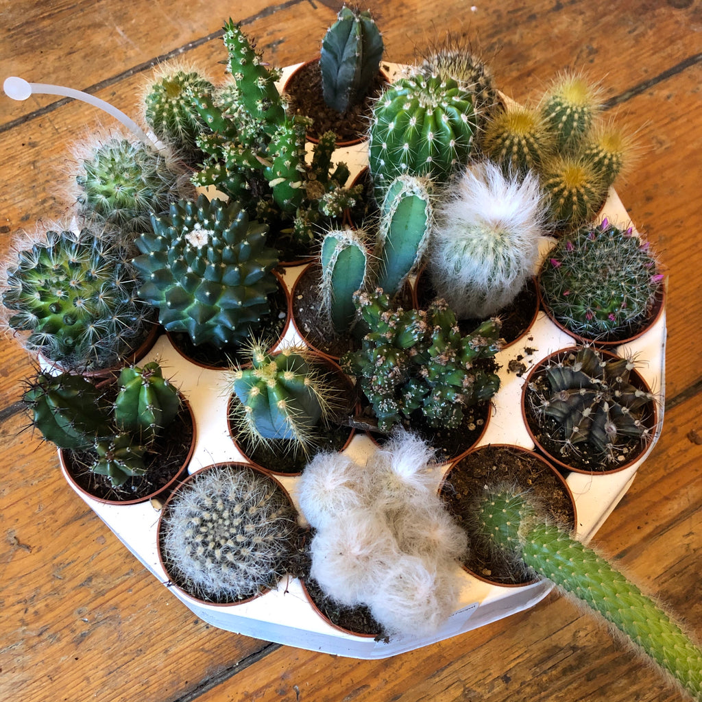 Mini Cactus House Plant - 5 for £10