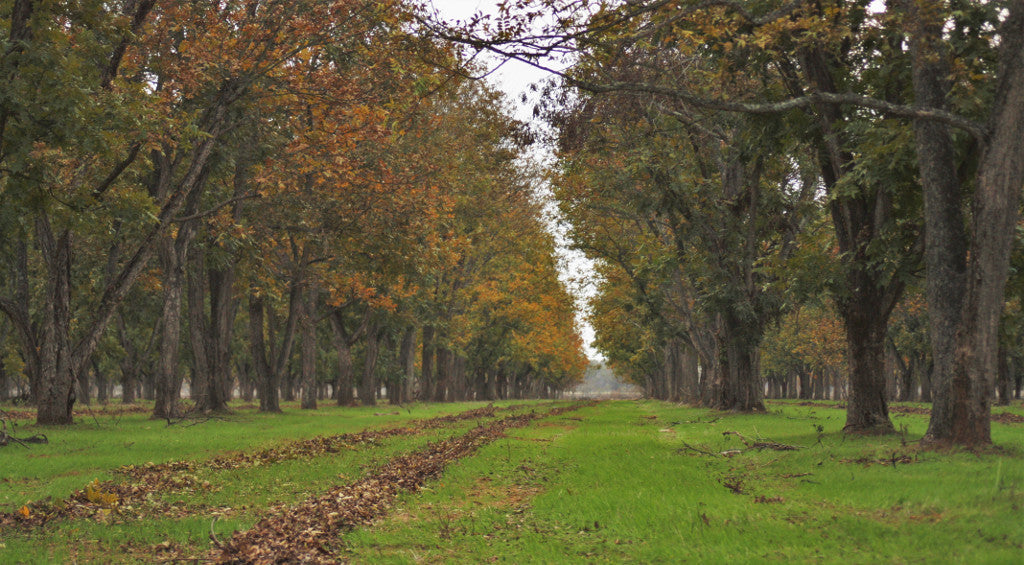 In the Pecan Orchard: November 2016