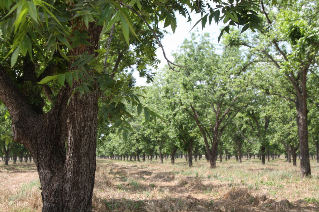 In the Pecan Orchard: May 2017