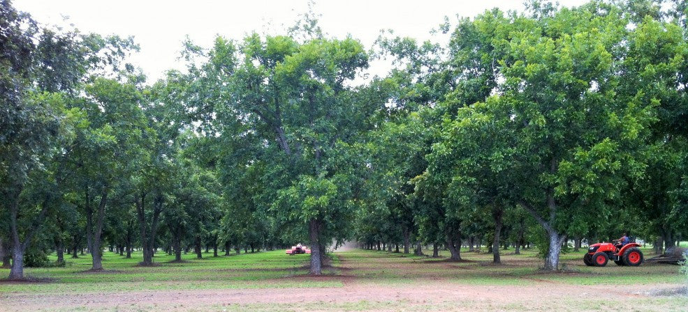 In the Pecan Orchard: October 2015