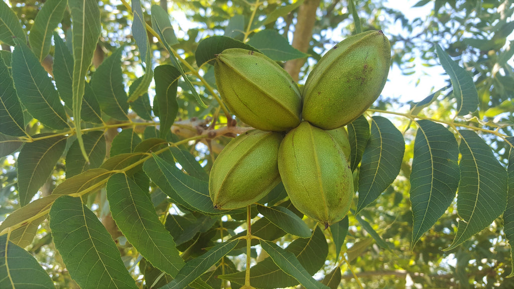 In the Pecan Orchard: August 2017