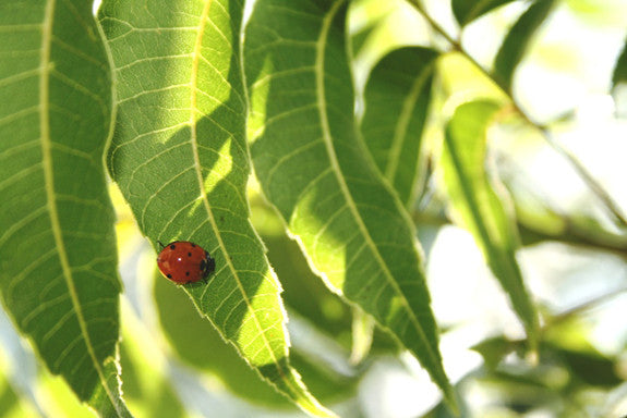 Ladybugs in the Orchard