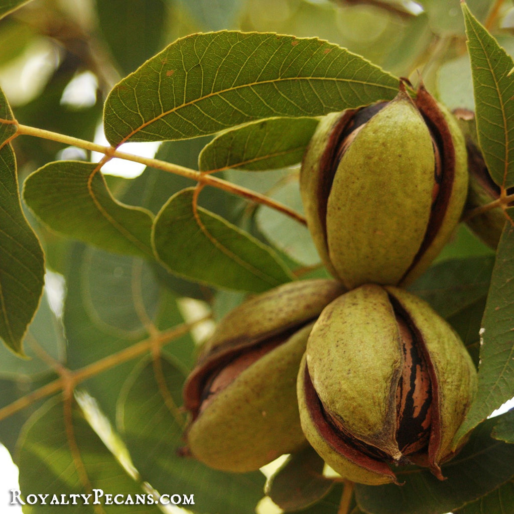 Our New Crop Pecans Are Almost Ready!
