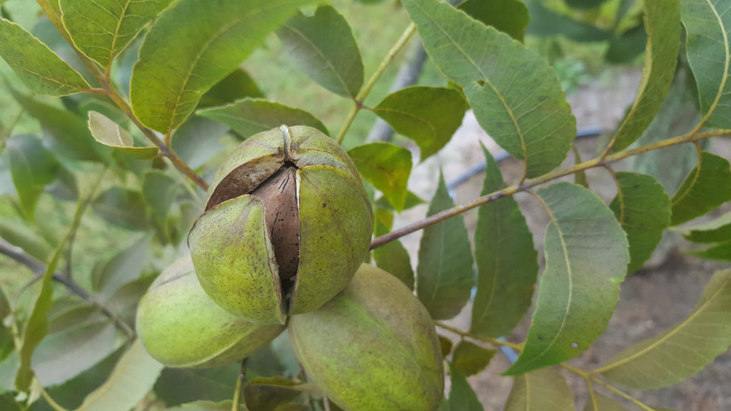 In the Pecan Orchard: September 2017