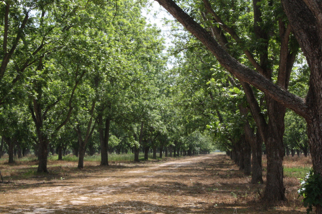 In the Pecan Orchard: May 2012