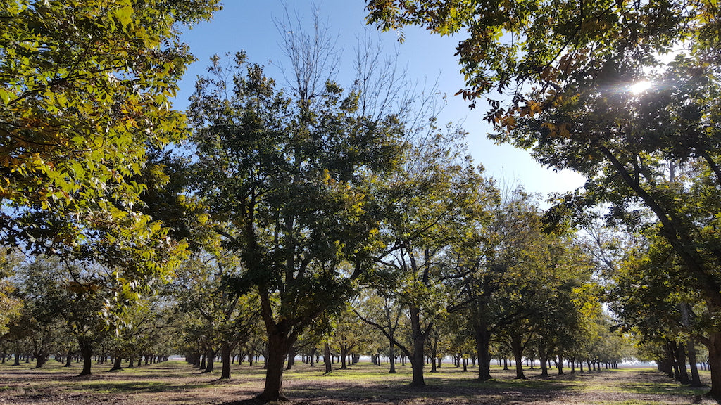 In the Pecan Orchard: December 2017