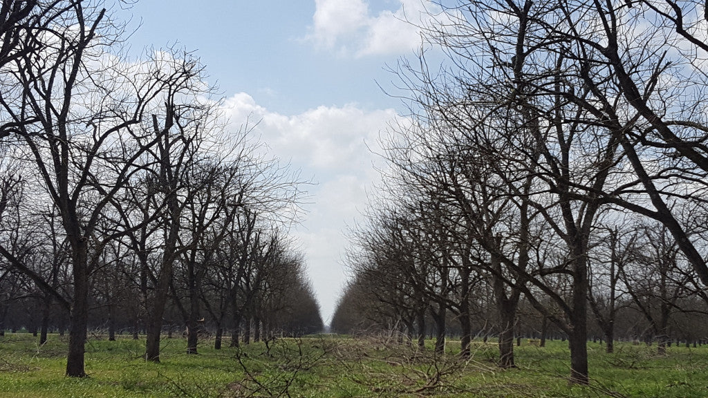 In the Pecan Orchard: March 2017