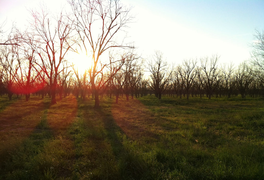 In the Pecan Orchard: January 2017