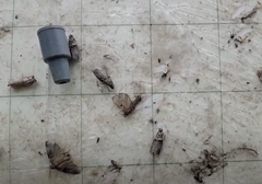 Image of pests caught in trap