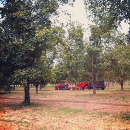 Harvesting at Royalty Pecan Farms