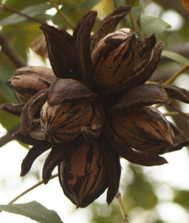 Large cluster of ripe Royalty Pecans