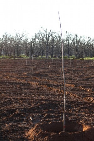 Planting-New-Trees-Royalty-Pecan-Farms