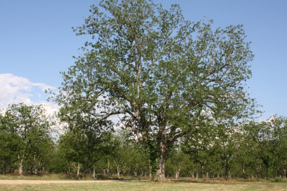 Native pecan tree growing for over 100 years at Royalty Pecan Farms in Caldwell, Texas